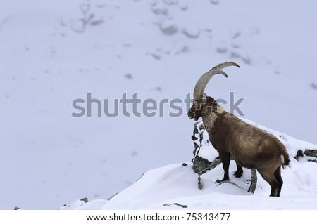 Alpine Ibex, wild goat - stock photo