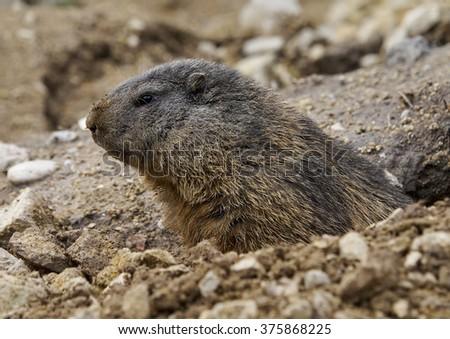 alpine marmot (Marmota marmota)      - stock photo