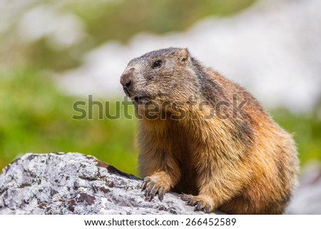 Alpine marmot (Marmota marmota) in Italian Dolomites - stock photo