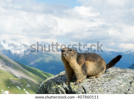 Alpine marmot standing on the boulder, with snowy mountains in the background, Austria, Europe - stock photo