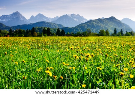 Alpine meadow covered with dandelions and other flowers with mountains on the background