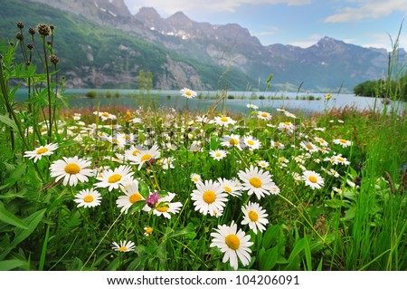 Alpine meadow with beautiful daisy flowers near a lake in the mountains - stock photo