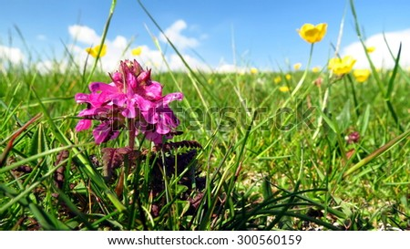 Alpine meadow with pink flower in foreground