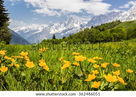 Alpine meadow with yellow flowers and green grass with Alp Mountains on the background