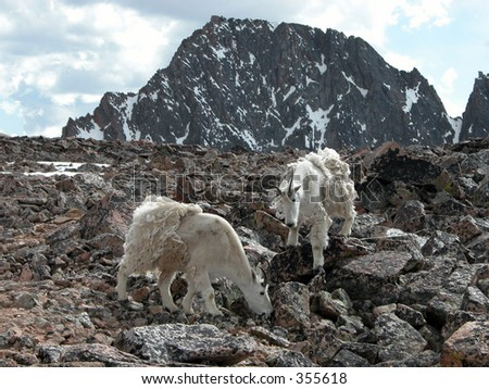 Alpine Mountain Goats at the base camp for Granite Peak, Montana - stock photo