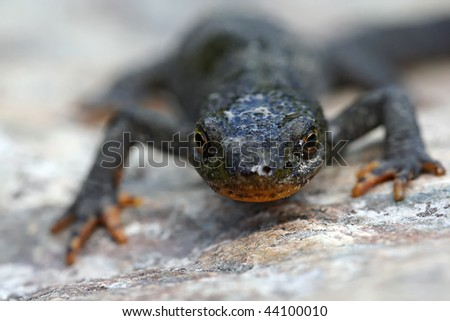 alpine newt - stock photo
