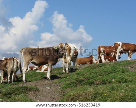 Alpine pasture with cows in foreground and the blue sky in background. Sesto Dolomites, South Tyrol, Italy