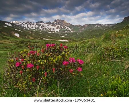 Alpine rose, Alpenrosen (Rhododendron hirsutum)  - stock photo