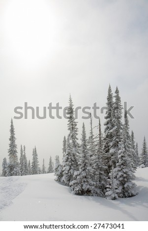 Alpine slope with pine tree covered snow - stock photo