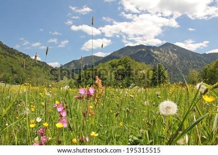 alpine wildflower meadow with buttercups, lychnis, dandelions, bavarian landscape - stock photo