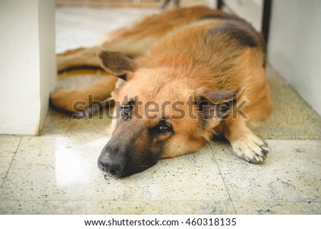 Alsatian dog  (German shepherd) rest looking