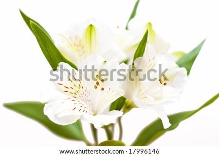alstroemeria - stock photo
