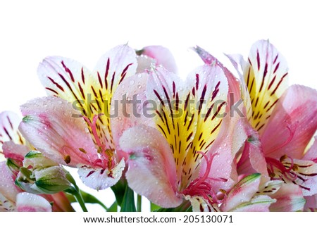 Alstroemeria closeup on white background with water droplets - stock photo