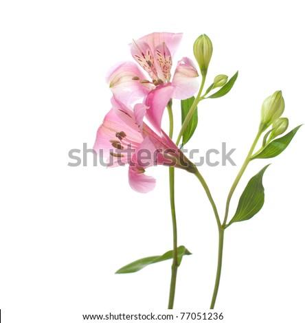Alstroemeria flowers isolated on white background. - stock photo