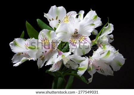 alstroemeria flowers, peruvian lily, black background - stock photo