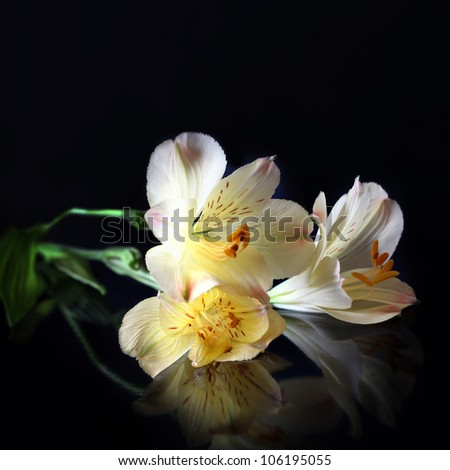 Alstroemeria Lilly flowers in black background - stock photo
