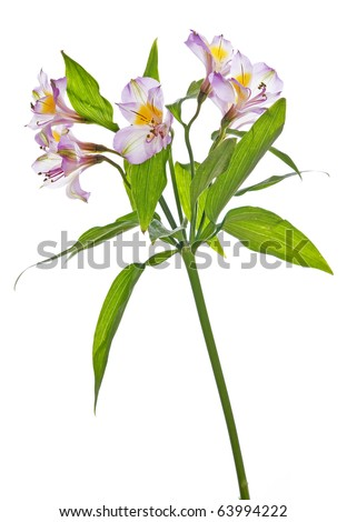 Alstroemeria lily isolated