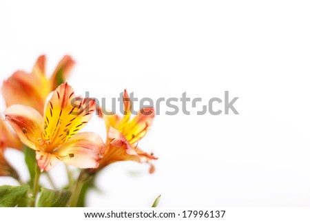Alstroemeria red
