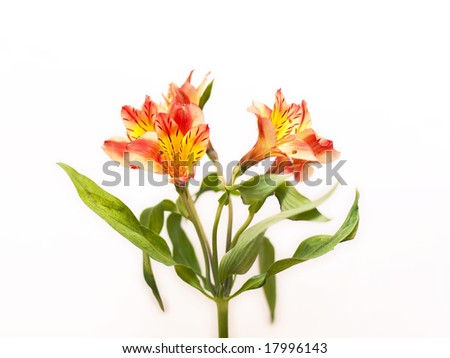 Alstroemeria red - stock photo