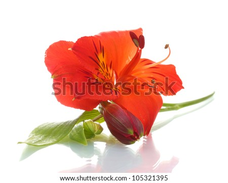 alstroemeria red flower  isolated on white - stock photo