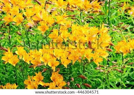 Alstromeria in English country garden border. - stock photo
