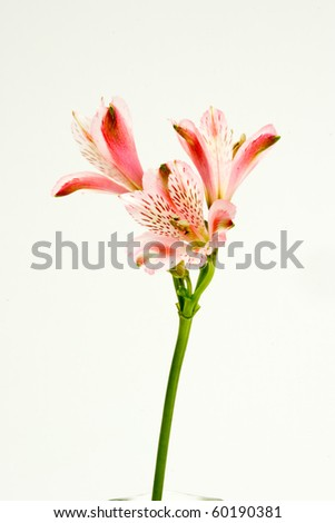 Alstromeria Lily isolated against white background. - stock photo