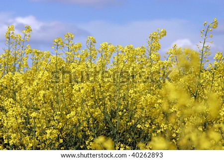Alternative energy source yellow blooming rapeseed - stock photo