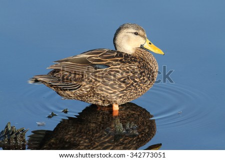 Although similar in appearance to female Mallards or Black Ducks, the Mottled Duck (Anas fulvigula) can be identified by its darker plumage, oranger legs as well as location - stock photo
