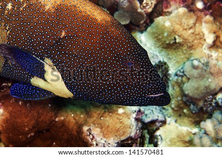 Although very beautiful, the peacock grouper is an invasive species introduced to Hawaiian waters. - stock photo