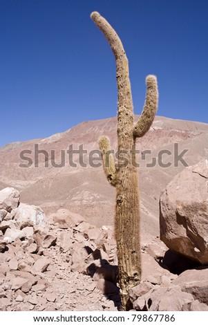 Altiplano, Atacama Desert, Chile, South America, Datail of a big cactus - stock photo