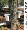 aluminum buckets on maple trees collecting sap - stock photo