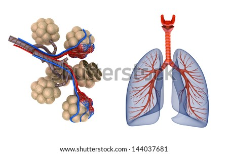 Alveoli in lungs - blood saturating by oxygen - stock photo