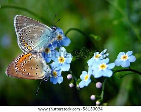 Amanda's Blue (Polyommatus amandus) Forget-me-not flower (Myosotis arvensis) - valentine day - stock photo