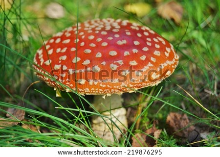 Amanita muscaia mushroom ( red toadstool)- detail in forest - autumn seasonal poisonous - stock photo
