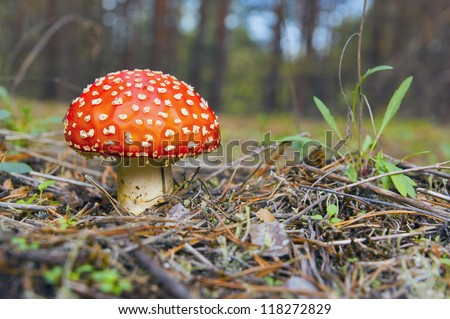 Amanita muscaria a.k.a. Fly Agaric. The mushroom grows in the forest.
