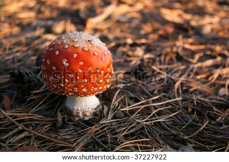 Amanita muscaria, commonly known as the fly agaric or fly Amanita. Poisonous and psychoactive fungus. White-gilled, white-spotted, deep red mushroom.