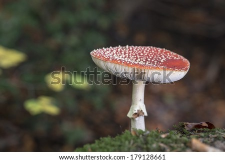 Amanita muscaria or fly agaric fungus in german nature - stock photo