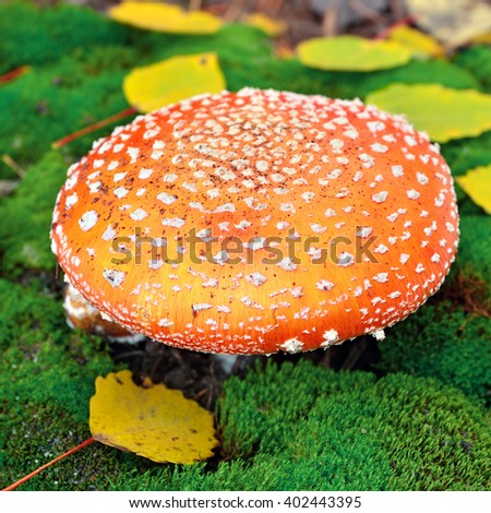 Amanita mushroom on the moss among of autumn leaves - stock photo