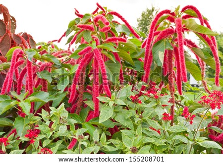 Amaranthus Caudatus flowers, known as Love Lies Bleeding. - stock photo