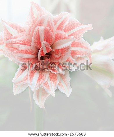 amarylis in red and white. - stock photo