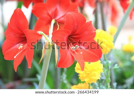 Amaryllis,beautiful red flowers in full bloom in the garden in spring,closeup,knight star lily,mexican lily,belladonna lily   - stock photo