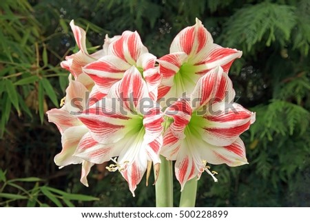 amaryllis bouquet on black