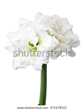 Amaryllis (Hippeastrum) double flowering Alfresco isolated on the white background