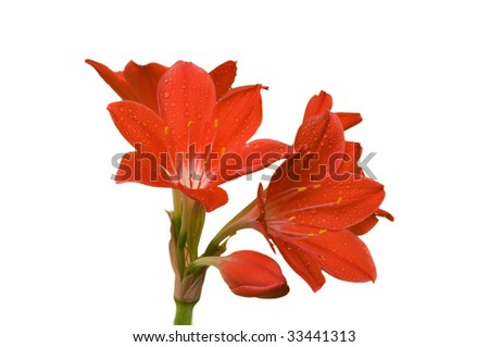 amaryllis isolated - stock photo