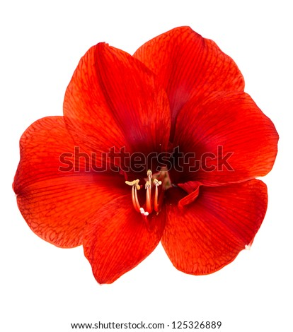 Amaryllis. red flower with clipping path isolated on white background - stock photo