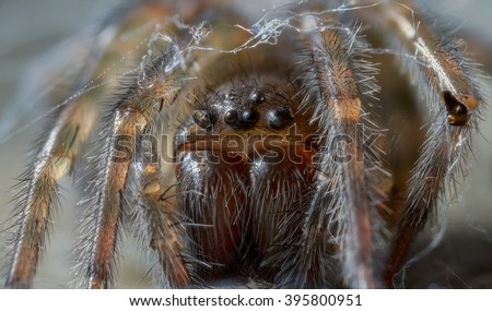 Amaurobius species lace web spider