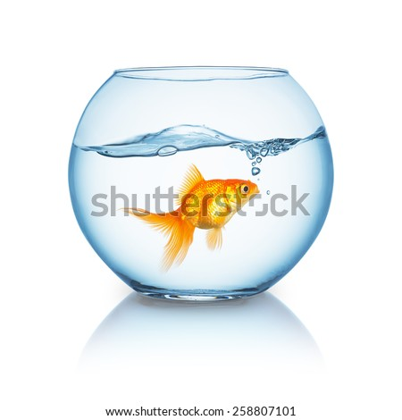 amazed looking goldfish in a fishbowl - stock photo