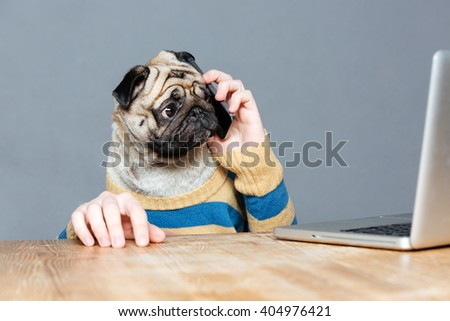 Amazed man with pug dog head talking on mobile phone and using laptop over grey background - stock photo