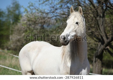 Amazig white andalusian mare with long hair in spring