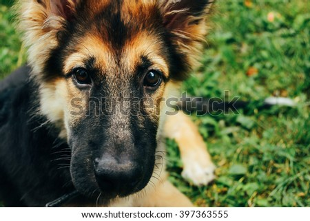 amazing adorable puppy german shepherd sitting on green grass and looking with cute eyes, summer - stock photo